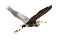 Purple heron over white Royalty Free Stock Image