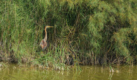 Purple Heron in the reedbed Stock Images
