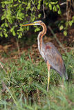 Purple heron on the river bank. The purple heron & x28;Ardea purpurea& x29; on the river bank with green background stock photos