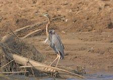 Purple Heron on a River Bank Stock Photography