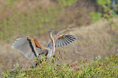 Purple Heron spreading wings Stock Image