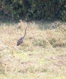 Purple heron walkng through paddy field,. Goa India Stock Photography