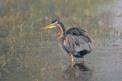Purple heron. The purple heron is a wide ranging species of wading bird in the heron family, Ardeidae. The scientific name comes from Latin ardea `heron`, and Stock Images