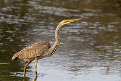 Purple Heron Stock Image