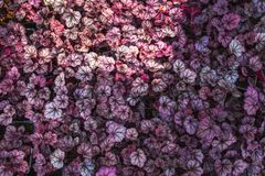 Purple Heuchera hybrid Obsidian. Bright natural ultra violet leaves of Heuchera. Decorative foliage background or wallpaper stock photography