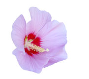 Purple Hibiscus Stock Image