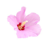 Purple hibiscus flower Stock Photos