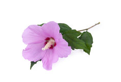 Purple hibiscus flower Stock Images