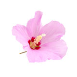 Purple hibiscus flower isolated on white Stock Photos