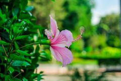 Purple Hibiscus Royalty Free Stock Photo
