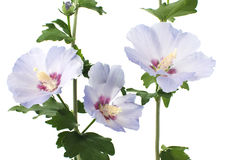 Purple hibiscus flowers. On a white background Stock Image