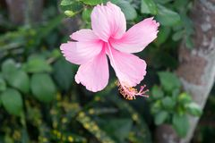 Purple hibiskus blossom in thailand royalty free stock photography