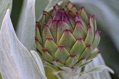 Artichoke Baby Bud. Purple Highlights, tiny artichoke bud, with leaves, green vegetable, garden royalty free stock photos