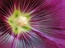 Purple Hollyhock Stock Photos