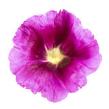 Purple Hollyhock blossom isolated Royalty Free Stock Photo