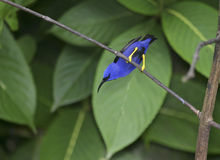 Purple Honeycreeper. (Cyanerpes caeruleus) or Yellow-legged Grampo is a common resident of Trinidad mostly in the forest canopy stock photos