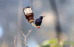 Purple honeycreeper bird Cyanerpes caeruleus Stock Images