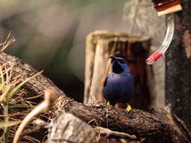 Purple honeycreeper bird Cyanerpes caeruleus Stock Photography