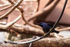 Purple honeycreeper bird Cyanerpes caeruleus Royalty Free Stock Images