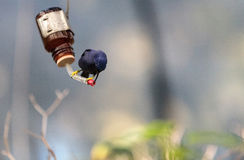 Purple honeycreeper bird Cyanerpes caeruleus Royalty Free Stock Photography