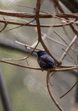 Purple honeycreeper known as Cyanerpes caeruleus Royalty Free Stock Photography