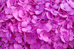 Purple Hortensia flowers background. stock photos