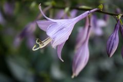 Purple host blooming. In the garden Royalty Free Stock Photo