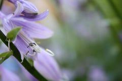 Purple host blooming. In the garden Stock Image
