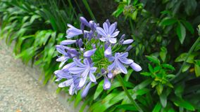 Purple hosta flowers. Blooming plant close up stock footage
