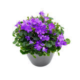 Purple house plant (Campanula) in a gray pot. Royalty Free Stock Photos