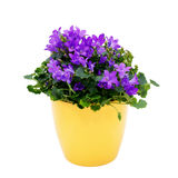 Purple house plant (Campanula) in a yellow pot. royalty free stock photos