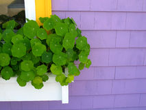 Purple House with Window Box. White window box on purple shingled house with nasturtiums Royalty Free Stock Photos