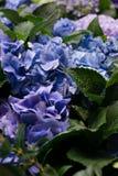 Purple hued uit de piek van hydrangea hortensiabloemen van hun donkergroen gebladerte royalty-vrije stock afbeeldingen