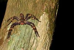 Purple huntsman spider Stock Photography