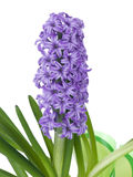 Purple hyacinth. On pure white background Stock Images