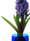 Purple hyacinth. Forced bulb in blue glass vase,focus on flowers Royalty Free Stock Photos
