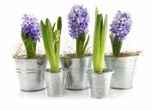Purple hyacinth in aluminum pots on white Stock Photography