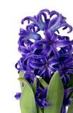 Purple Hyacinth Royalty Free Stock Image