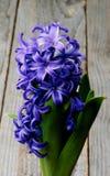 Purple Hyacinth Stock Images