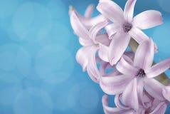 Purple hyacinth on blue background Royalty Free Stock Photos