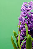 Hyacinth flowers close up over green Stock Photos