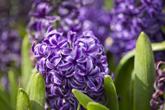 Purple hyacinth. Close up in field Stock Photography