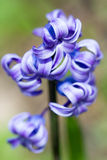 Purple hyacinth Stock Image