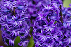 Purple hyacinth. Delicate Purple hyacinth open, likable royalty free stock photography