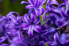 Purple hyacinth. Delicate Purple hyacinth open, likable royalty free stock photos