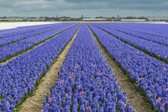 Purple Hyacinth Field With Church Royalty Free Stock Images