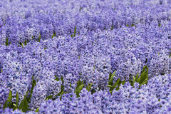 Purple Hyacinth Field Detail Stock Images