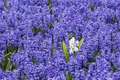 Purple Hyacinth Field Detail with one White Stock Images