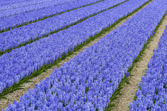 Purple Hyacinth Field Stock Image