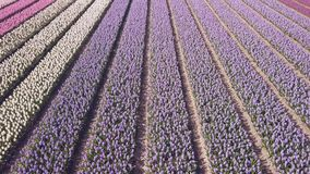 Purple hyacinth field in netherlnds. drone fly stock footage